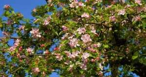 drvo jabuke-u-cvatnji