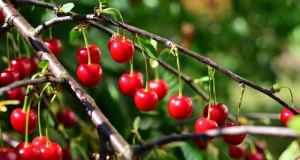 voćka višnje