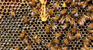pčele u košnici