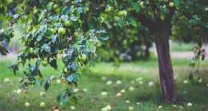 stablo jabuke
