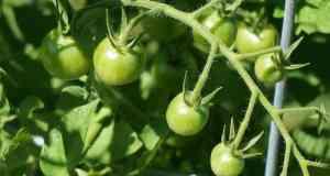 zelene rajčice