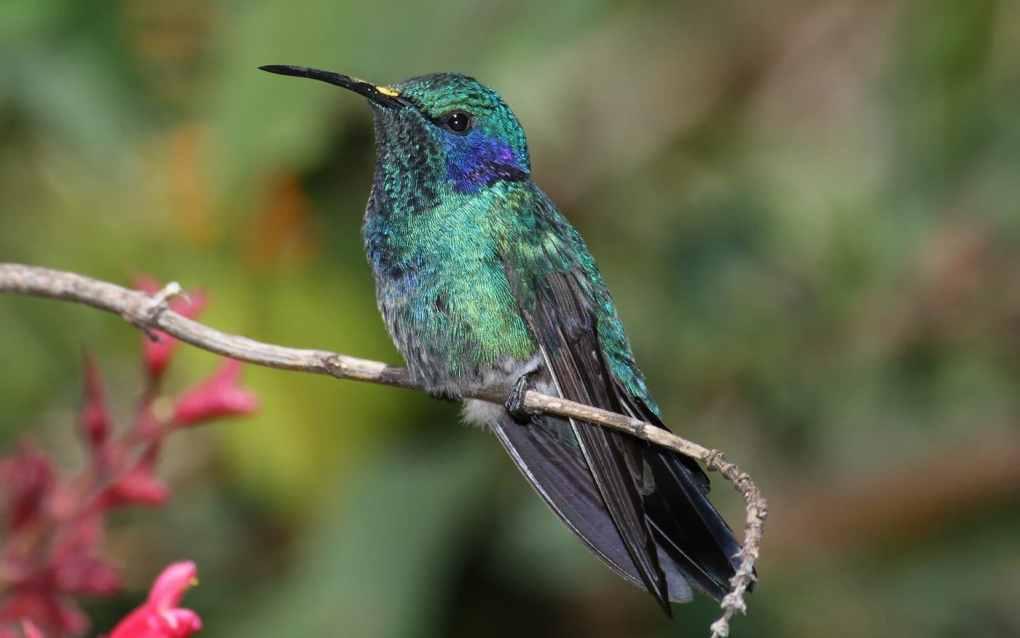 Le Colibri - mais quelle rapport avec la Savonnerie du Colibri ? - Savons naturels - Savonnerie du Colibri - Arlon, à la frontière entre la Belgique, la France et le Luxembourg