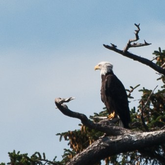 Bald eagles are one of the majestic birds you'll see in the San Juan Islands