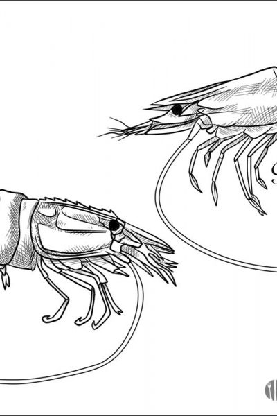 Prawn vs Shrimp Illustration