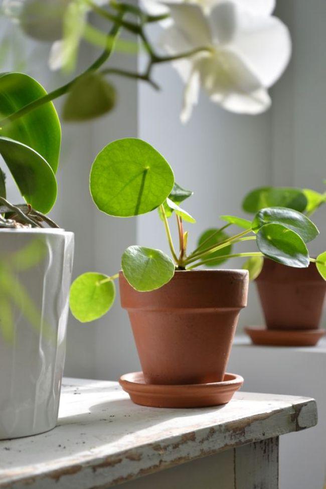 Pilea peperomioides plante interieur vert 2