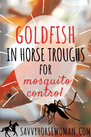 Goldfish in Water Troughs for Natural Mosquito Control by Savvy Horsewoman
