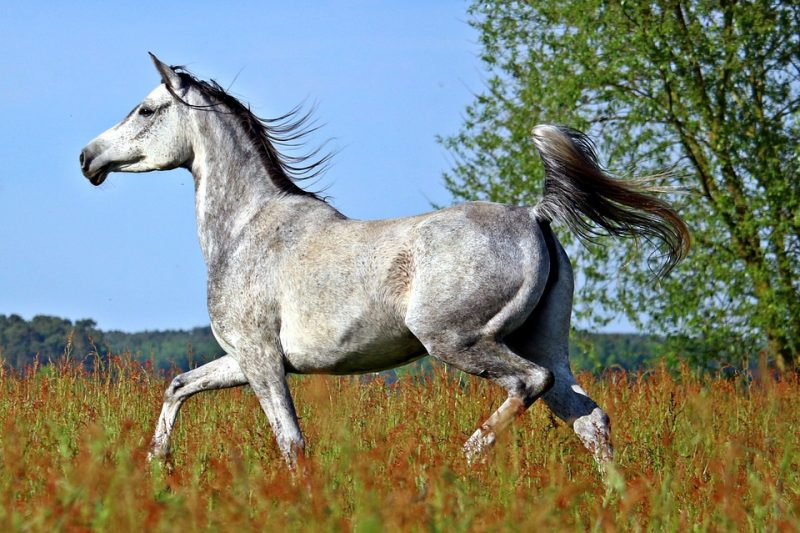 Arabian - Common Horse Breeds in America