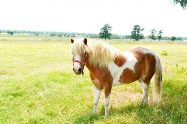 American Miniature Horse - Common Horse Breeds in America