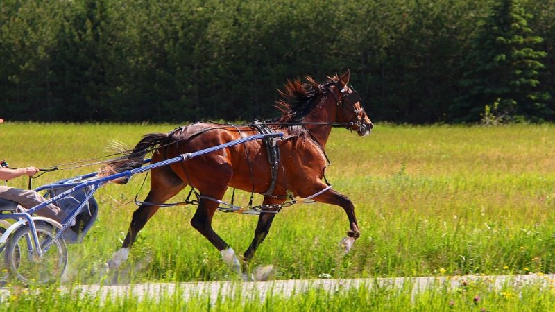 Standardbred - Common Horse Breeds in America