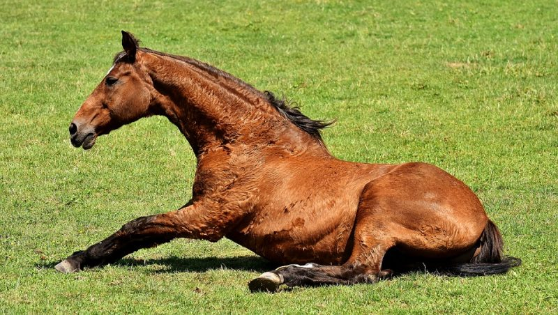 Horse Colic – Symptoms, Causes and Treatment