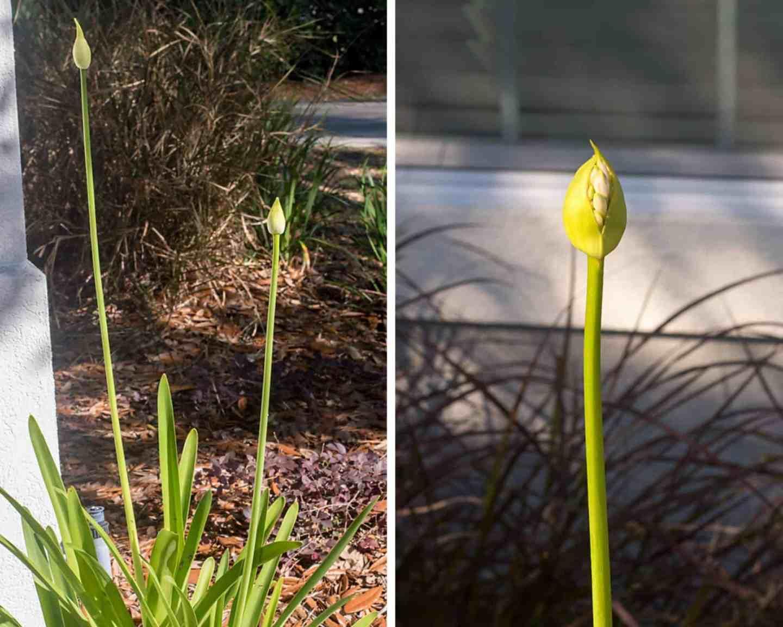 agapanthus bulbs, spring blooms