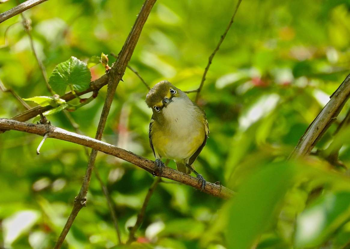 White-eyed Vireo. Photo: Charlie Roberto