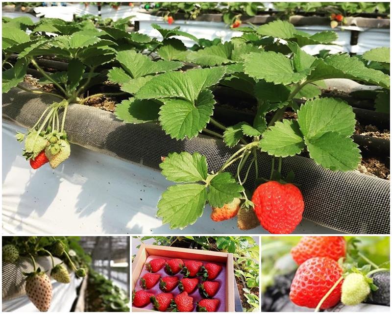 桃園採草莓/桃園賣草莓/桃園diy農場/桃園有機草莓園