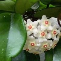 Fiore di cera: coltivazione e consigli