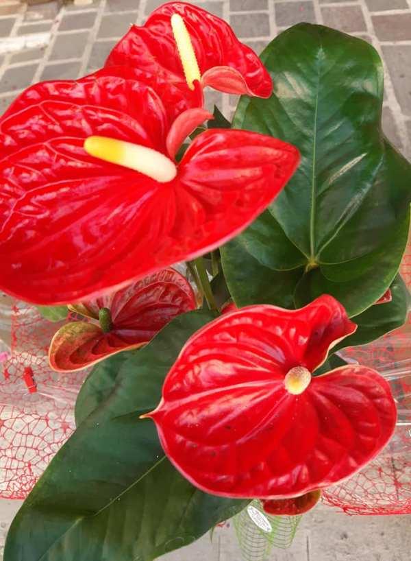 pianta di anthurium vendita online