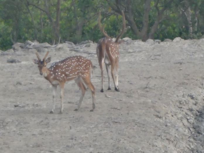 Spotted Deer at Sundarban