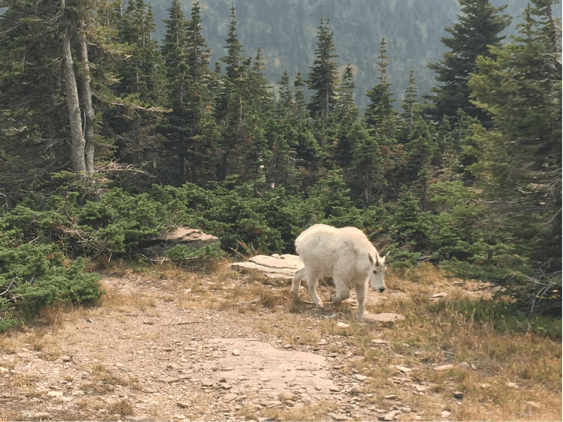 Mountain goats roam in the alpines, Glacier National Park