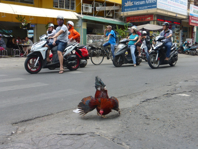 a fighting cock takes no notice of the traffic behind him