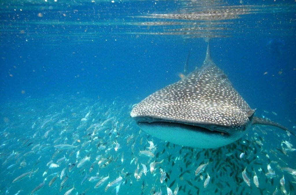 Swimming with whale sharks in Mexico – Debbie's story