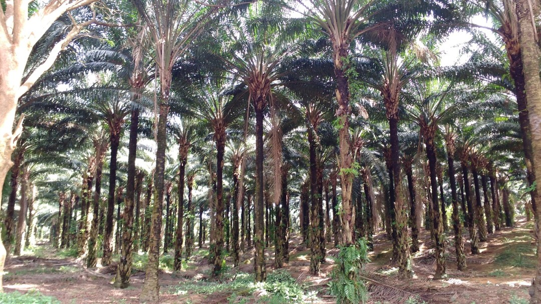 walking through the palm oil plantations