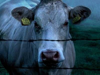 cows matthew stokoe
