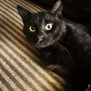 "Mangold said his newly adopted black cat, Gus, is ""very, very nice, friendly and well behaved."""