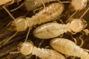 termites_workers