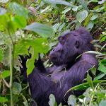 Gorillas and Maasai Mara overland Safari