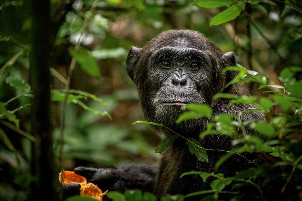 Uganda Primates & Wildlife Safari