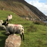 Sheep in road in Ireland, Plan a trip to Ireland