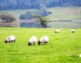 【アイルランド】北西部で見逃せないダウンパトリックヘッドと羊のいる風景