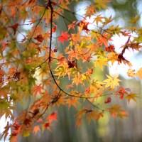 【京都】混雑しない!訪れやすい!市内紅葉おすすめスポット10選