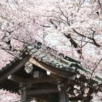 【栃木】鹿沼市の桜スポット3選