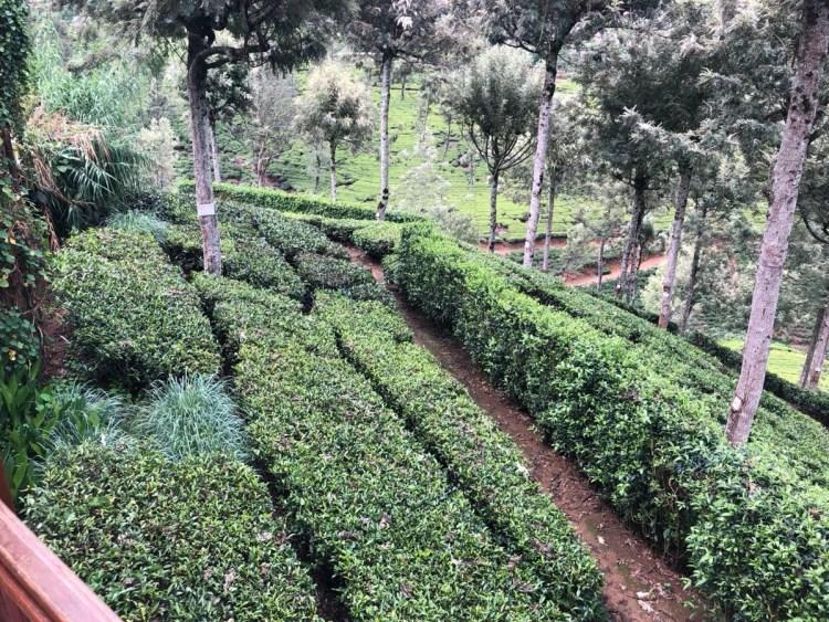 Pedro Tea Gardens