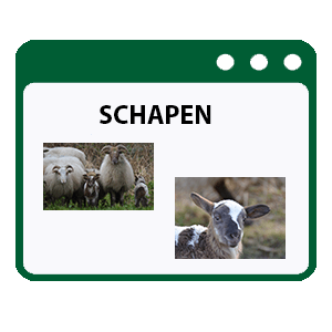 schapen- foto