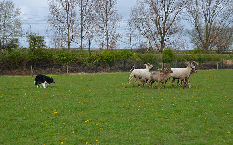 bordercollie-chimo-schaap