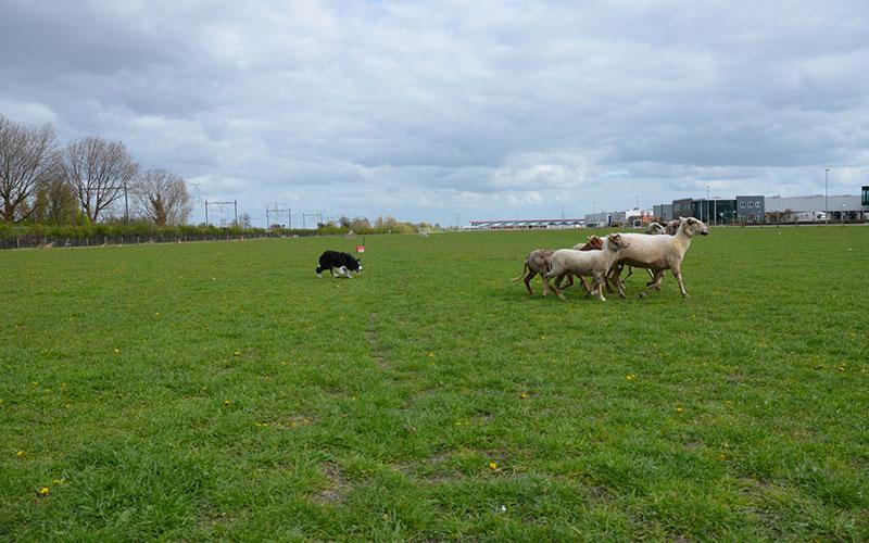 bordercollie-chimo-schapen
