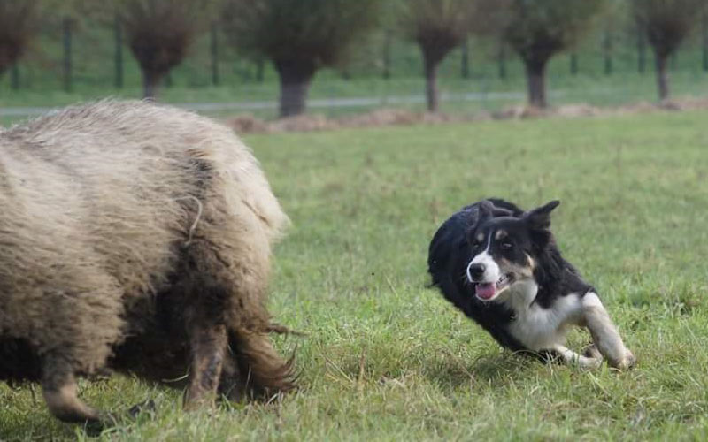 mate-schapendrijven-1