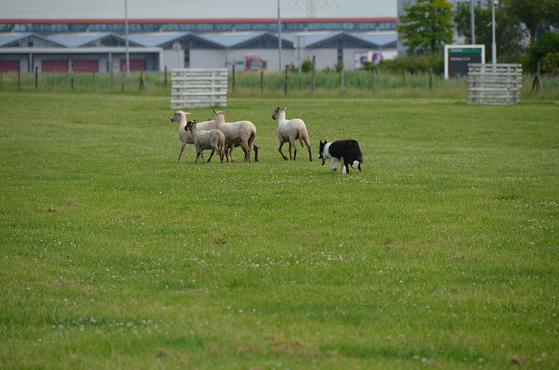summer schapendrijven