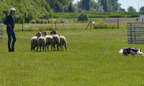trainingen schapendrijven drive