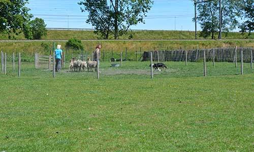 trainingen schapendrijven pen