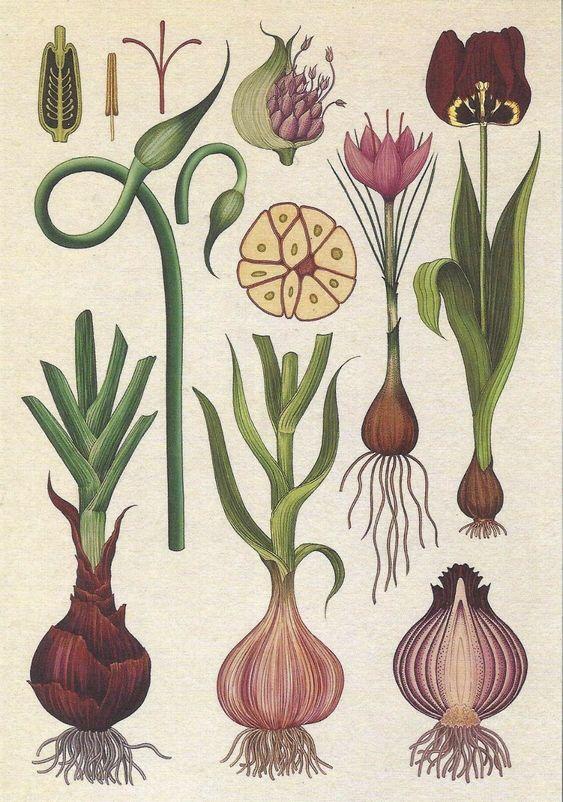Illustrazione della pianta di cipolla. - Fonte: Pinterest.