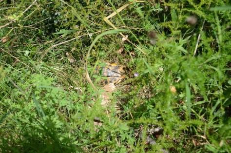 eher gelbes, adultes Weibchen Toskana 2014