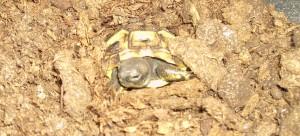 Griechische Landschildkröte Baby erwacht aus dem Winterschlaf 2011 Villa Amanda