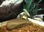 Babyschildkröte klettert auf Stein