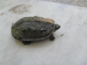 Mauremyus Rivulata Wasserschildkröte aus Pata auf Villa Amanda der Schildkröten Blog