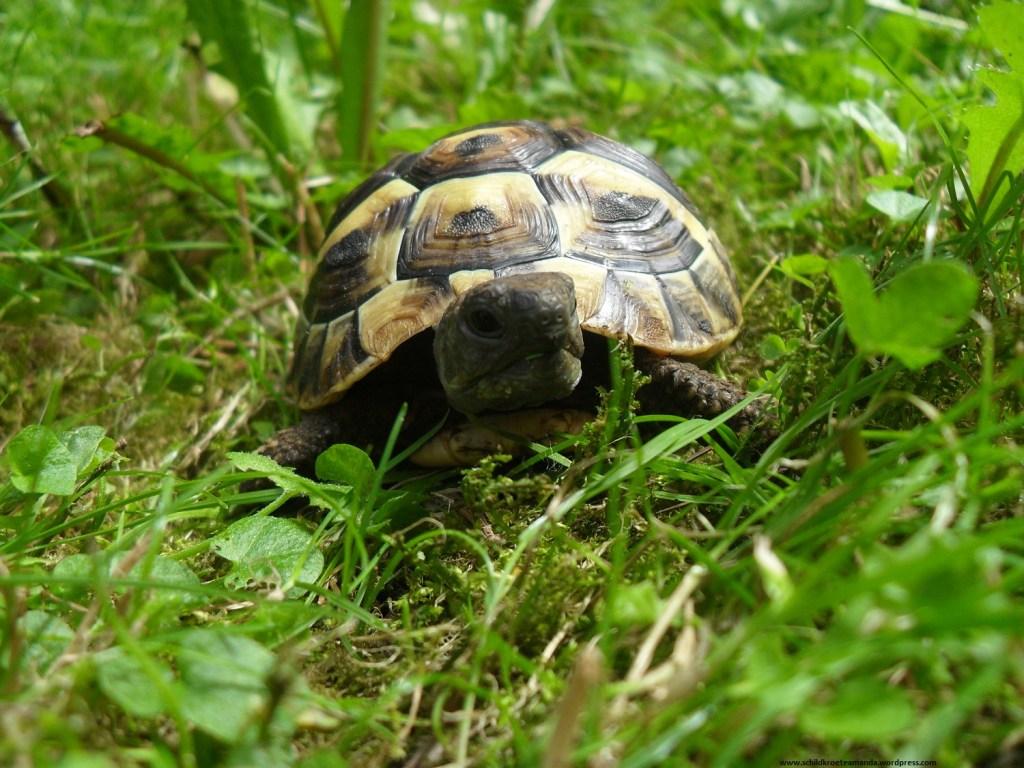 Griechische Landschildkröte Testudo Hermanni Boettgeri im Garten Hermann's Tortoise Auf Villa Amanda - der Schildkrötenblog, turtleblog