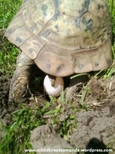 Griechische Landschildkröte Testudo Hermanni Boettgeri Eiablage Hermann's tortoise laying eggs