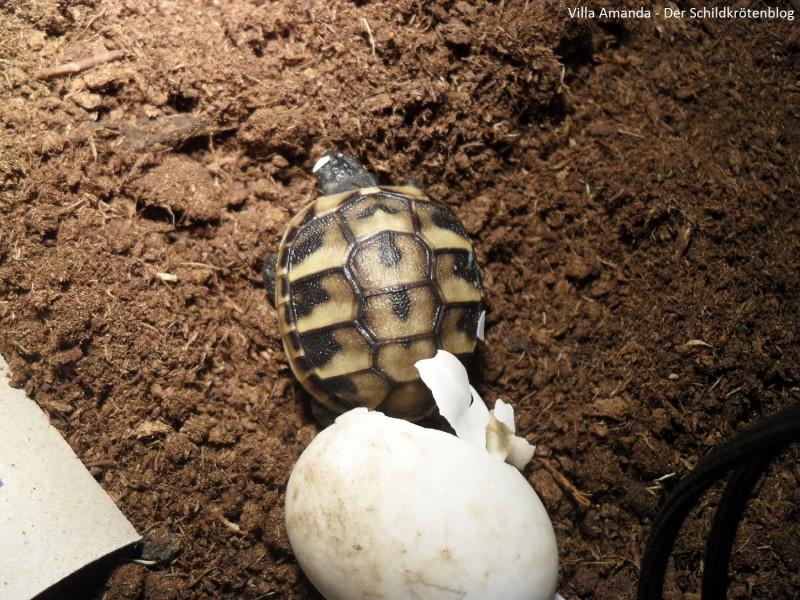 Babyschildkröte griechische Landschildkröte Testudo hermanni boettgeri schlüpft. Villa Amanda - Der Schildkrötenblog