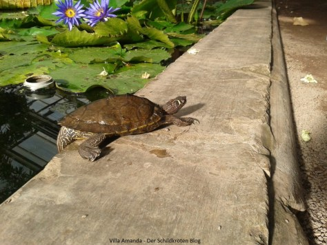 Florida Höckerschildkröte